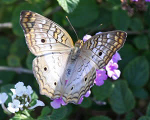Photo of Butterfly at Wildflower Butterfly Habitat
