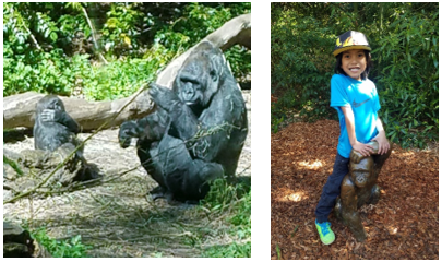 Zoo Gorillas