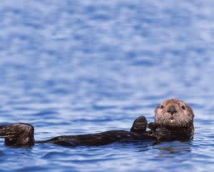 sea-otter_cloned-300x241