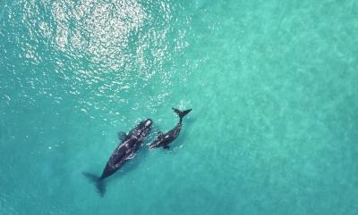 Humpback Whales Calf & Mother