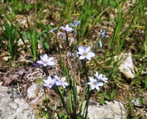 Blue Eyed Grass Flower along the Rose Island Trail in Charlestown State Park