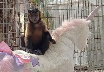 Capuchin monkey, Cady, sitting on stuffed unicorn at Octagon Wildlife Sanctuary