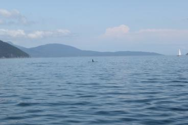 whale fin seen in puget sound on whale watching boat
