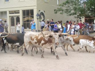 Several onlookers watch as a herd of cattle run through Cowtown in Wichita
