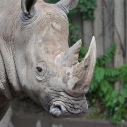 Rhino, Seneca Park Zoo, Rochester NY