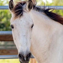 Close up of white horse at South West Florida Horse Rescue
