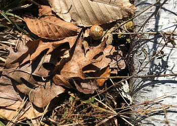 Brown Puff Birch