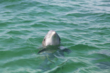 Dolphins in Destin - Fort Walton Beach