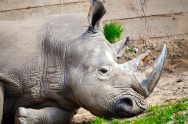 White Rhino at the Seneca Park Zoo in Rochester,NY