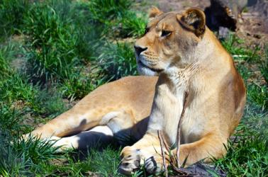 Lioness at the Seneca Park Zoo in Rochester, NY