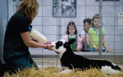 Fair Oaks Farms feeding a calf