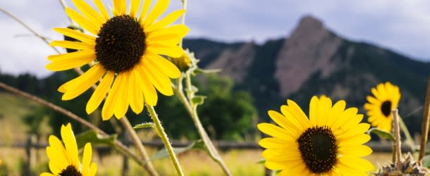 Sunflowers in front of Flatirons
