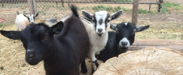 Baby goats at the Three Leaf Farm