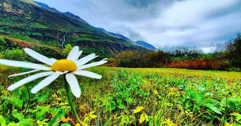 A shashta daisy in a field in Valdez. Mountains in the background.