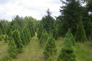 Pine Top Image