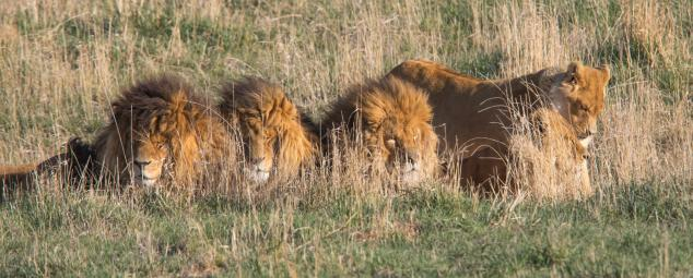 Lions sitting in the grass at the Wild Animal Sanctuary