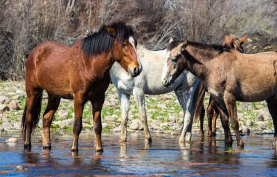 Wild Horses Salt River photo credit visit mesa