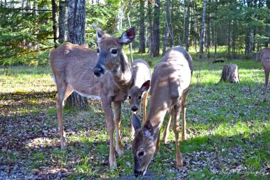 Deer in the Whiteshell. Photo by Brett Calsbeck.