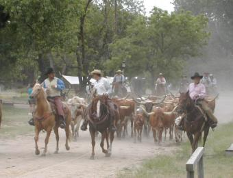 A cattle drive at Old Cowtown