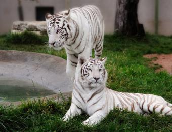 White Tigers at Tanganyika Wildlife Park