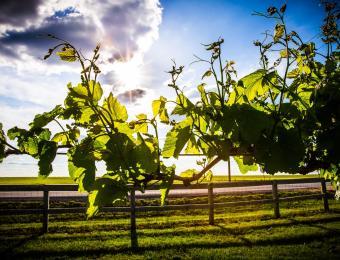 Prairie Hill grape vine Visit Wichita