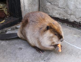 KS Wildlife Exhibit Beaver