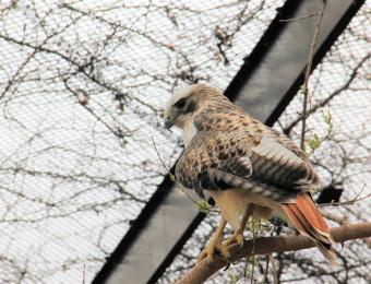 Kansas Wildlife Exhibit Hawk