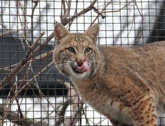 Kansas Wildlife Exhibit Bobcat