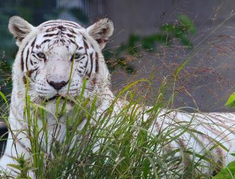 Tanganyika Tiger