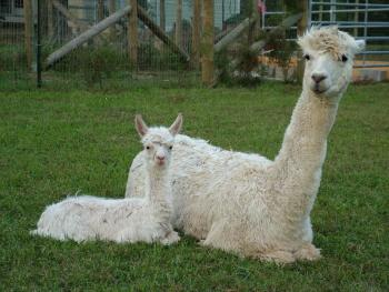 Check out the alpacas at Montrose Farms Alpaca Ranch in Brownsburg.