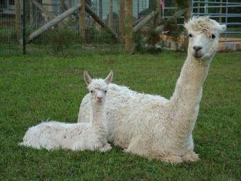 Montrose Farms Alpaca Ranch