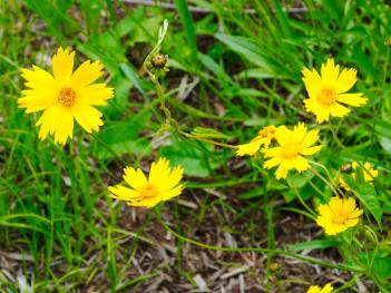 Wildflowers at McCloud Nature Park (photo courtesy of Hendricks County Parks & Recreation)