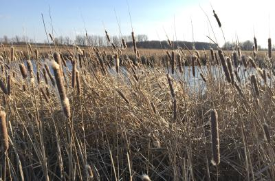 View of pond through reeds and grasses at Glacier Ridge Metro Park