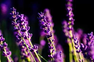 Lavender close-up