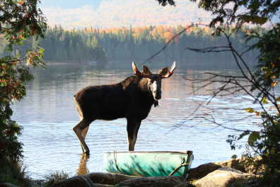 Maine Moose Watching
