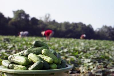 Pickle-field-web.jpg