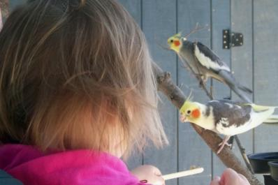 Meet cockatiels in our aviary!