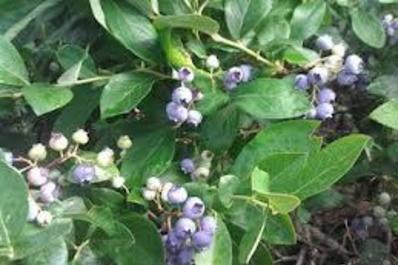 Schantz's Blueberries