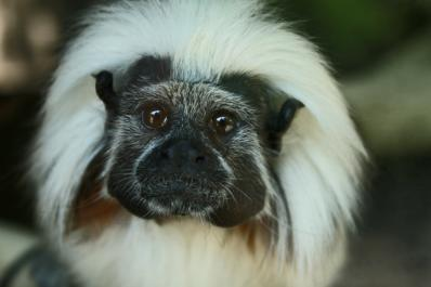 Watch as the critically endangered Cotton-top Tamarins leap around their exhibit!