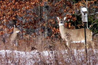 White-tailed doe and young