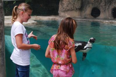 Watch the endangered African Black-footed Penguins glide through the water during feeding time!