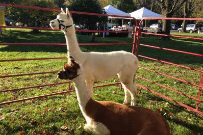 Alpacas of Sunshine Farm