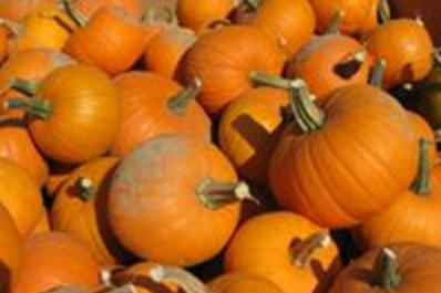 Lots of Pumpkins at Ideal Farms