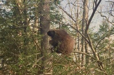 Beaver in a Tree