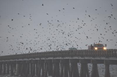 Purple Martin in The Outer Banks
