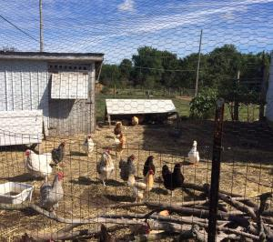 The free range chickens are an important part of the farm.