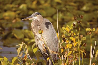 Heron at the Montezuma Wildlife Refuge