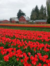 Skagit Valley Tulip Festival with barn in background