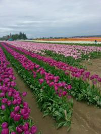Rows of purple and violet tulips at Skagit Valley Tulip Festival
