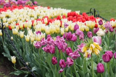 Tulip Beds in Washington Park